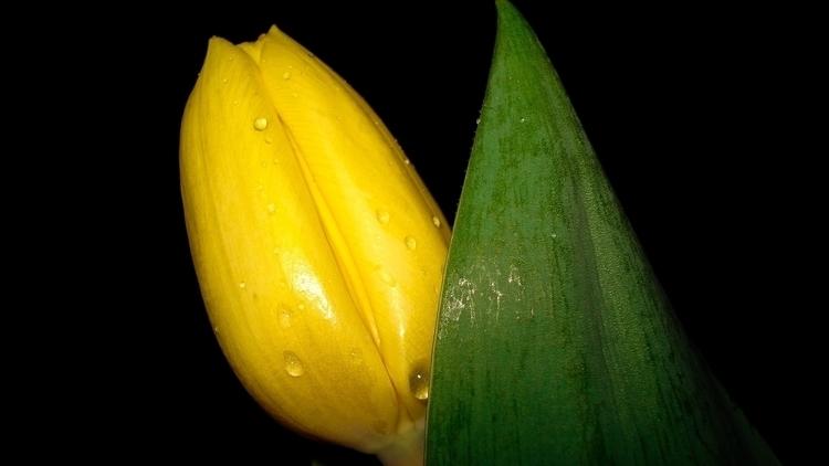 Yellow Tulip - photography - heatherb-1015 | ello