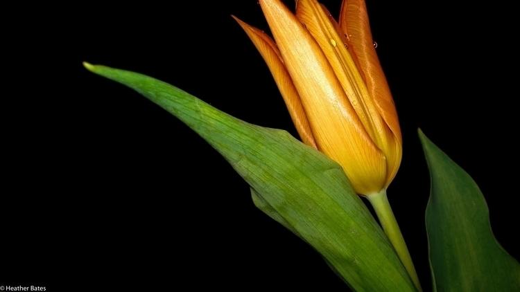 Orange Tulip - photography - heatherb-1015   ello