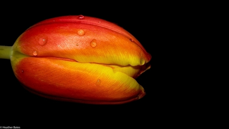 Orange-Yellow Tulip - photography - heatherb-1015 | ello