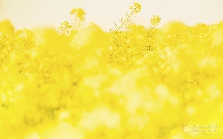 Jaune  - colza, printemps - olivier_drean | ello