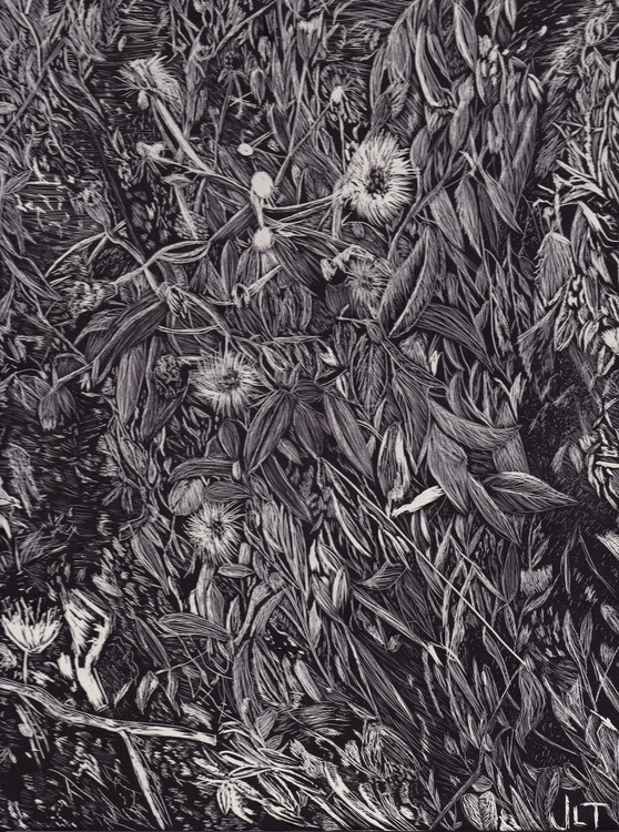 Dandelion - illustration, scratchboard - jtiedemann | ello