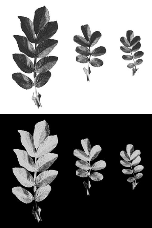 Scanned leafs dog rose, positiv - leo_brix | ello