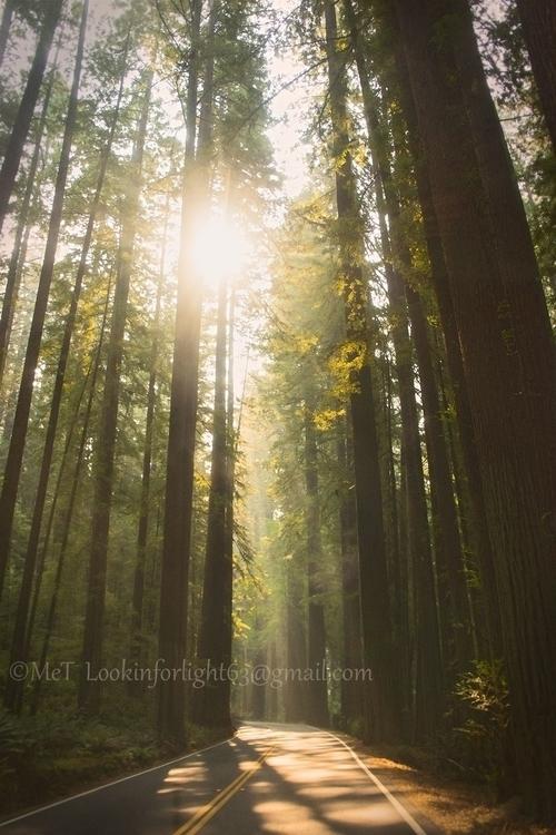 Light Avenue Giant Redwoods - nature - lookinforlight | ello