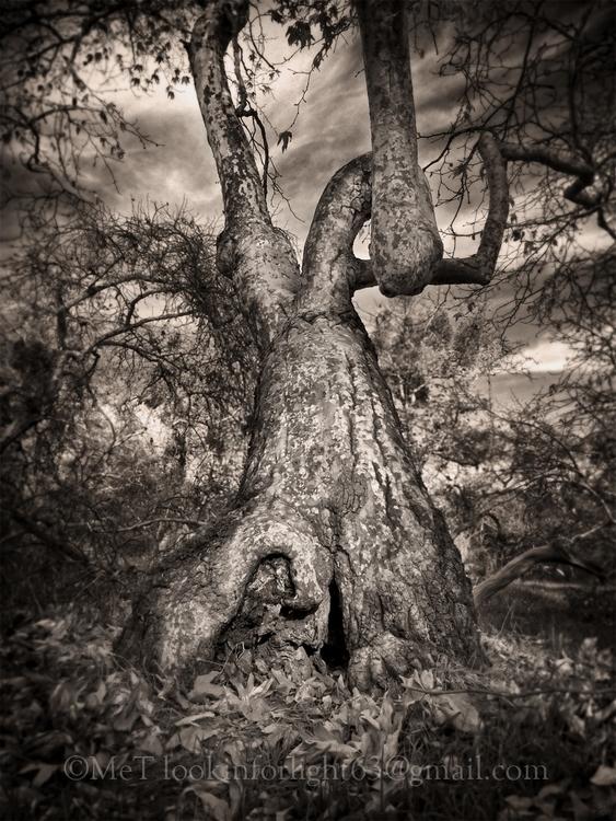 Wild Tree Secrets - tree, treelover - lookinforlight | ello