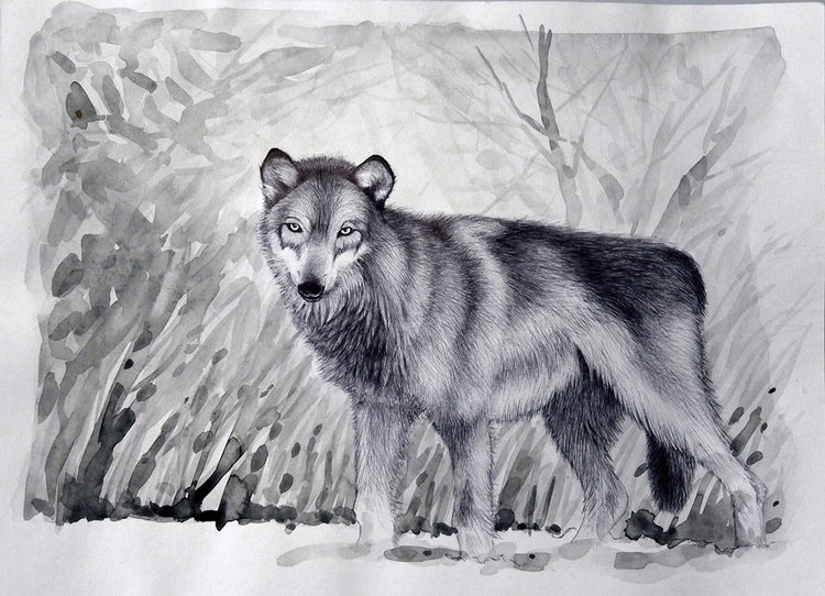 Subject - wolf, snow, pen, watercolour - ruwett | ello