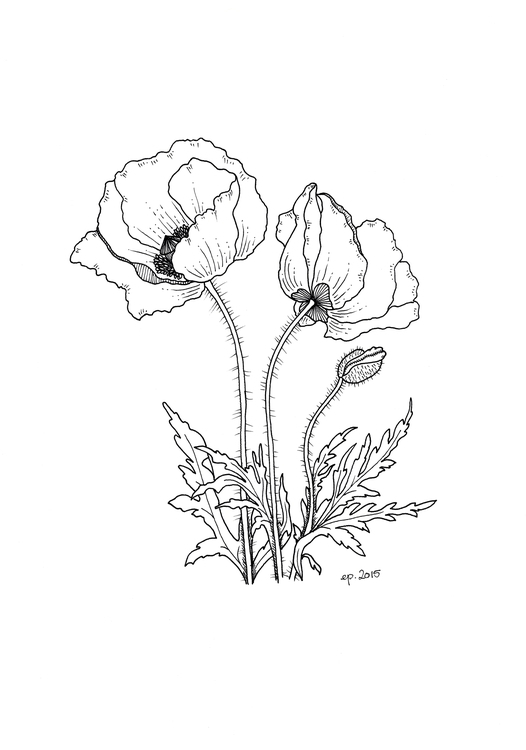 Poppies - poppies, flowers, illustration - ellenparzer | ello