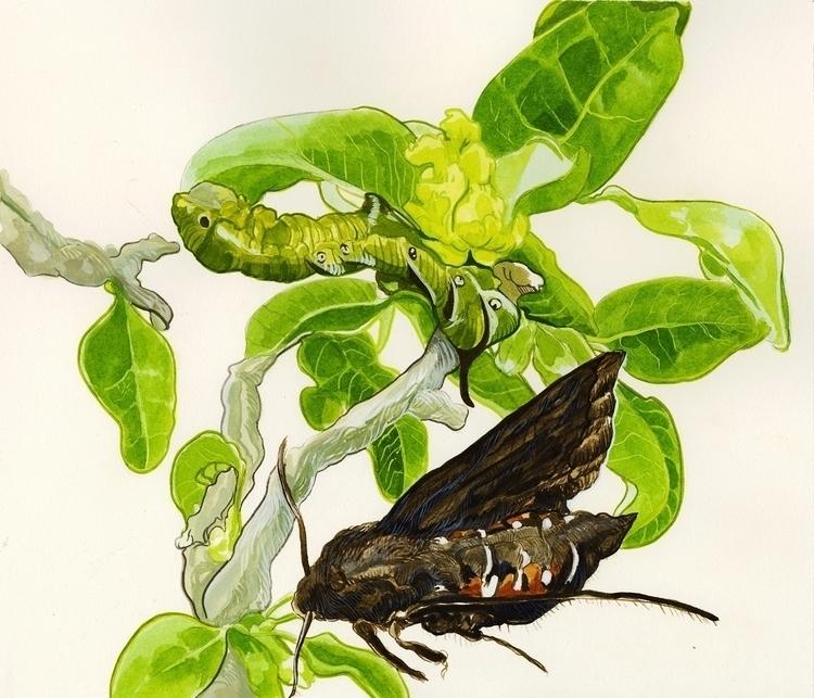 Hawk Moth Aiea Tree - aiea, tree - katherinehenri | ello