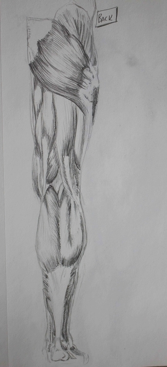 Leg Muscles - illustration, pencil - mhettich | ello