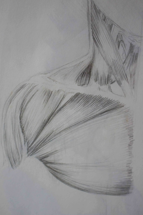 Neck/Torso Muscles - illustration - mhettich | ello