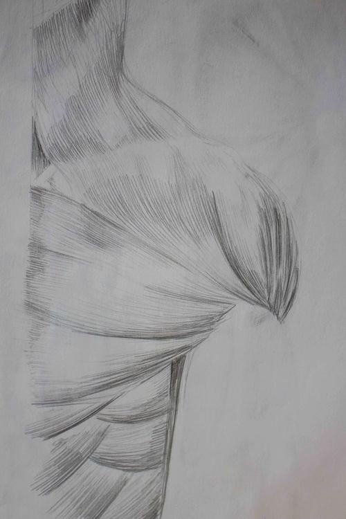 Neck/Torso Muscles - anatomy, illustration - mhettich | ello