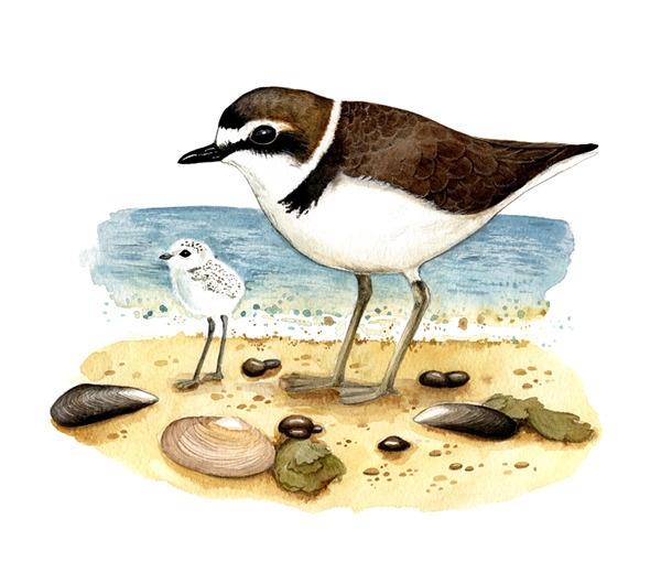 Kentish plover (Charadrius alex - smugasta | ello