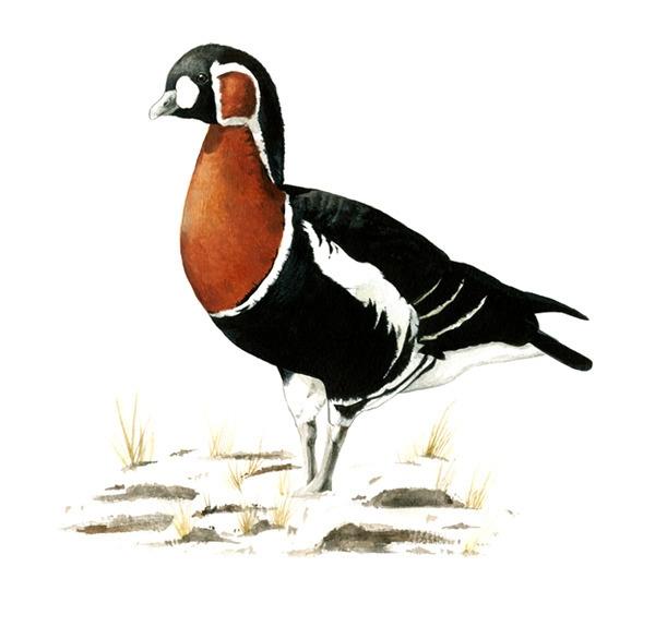 Red-breasted goose (Branta rufi - smugasta | ello