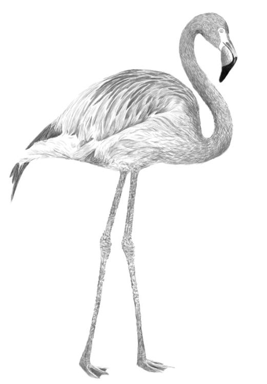 Pink Flamingo Drawing - drawing - beckiepalmer | ello
