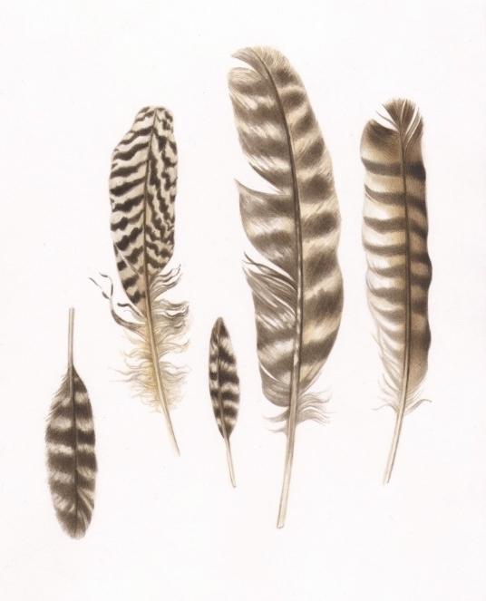 Turkey feathers - karenkluglein | ello