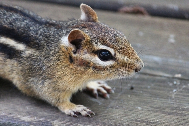 chipmunk friend - photography, animals - katiewaye | ello