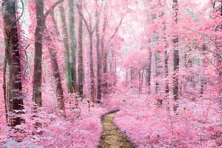 Pink Fog - photography, forest, trees - lashellevalentine | ello