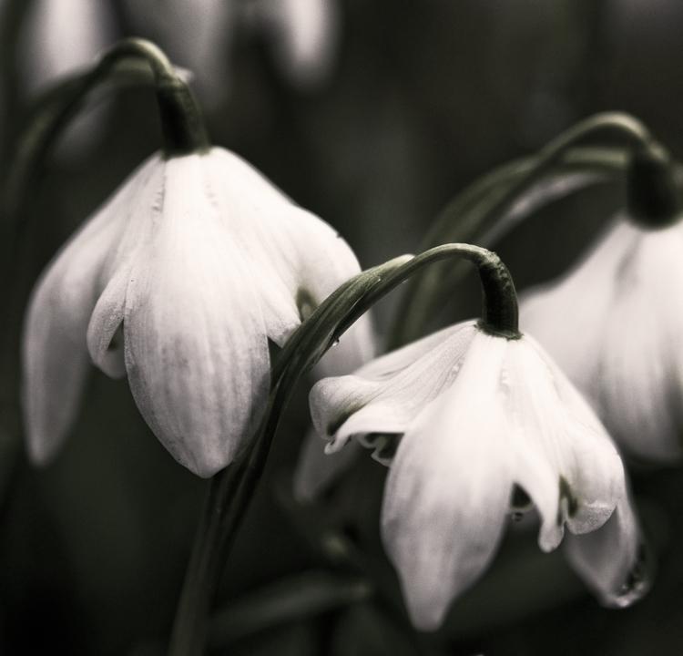 photography, macro, flowers, snowbells - juliahs-1141 | ello
