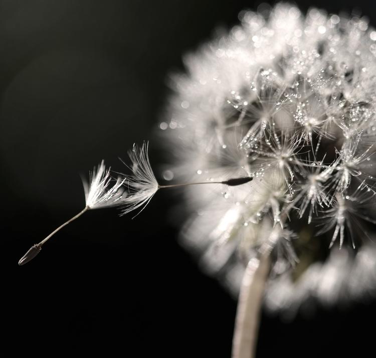 photography, macro, nature, dandelion - juliahs-1141 | ello