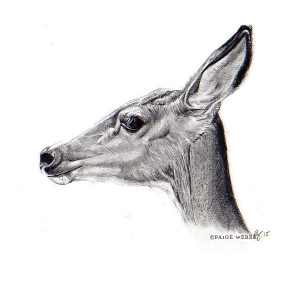 277 / deer - doe, bambi, drawing - paige-2875 | ello