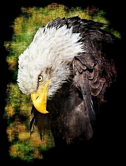 Bald eagle sad - bald, bird, prey - leo_brix | ello