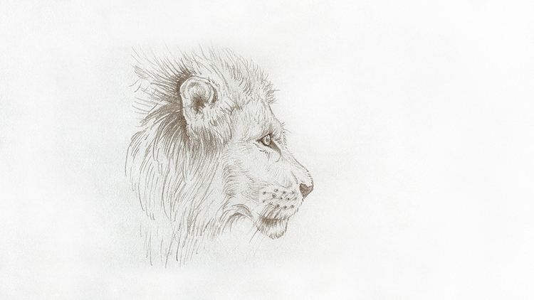 lion, illustration, sketch, drawing - bryony-7728 | ello