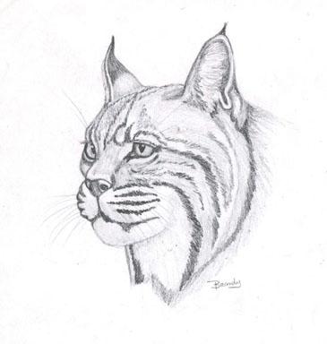 'Bobcat - drawing - brandyhouse | ello
