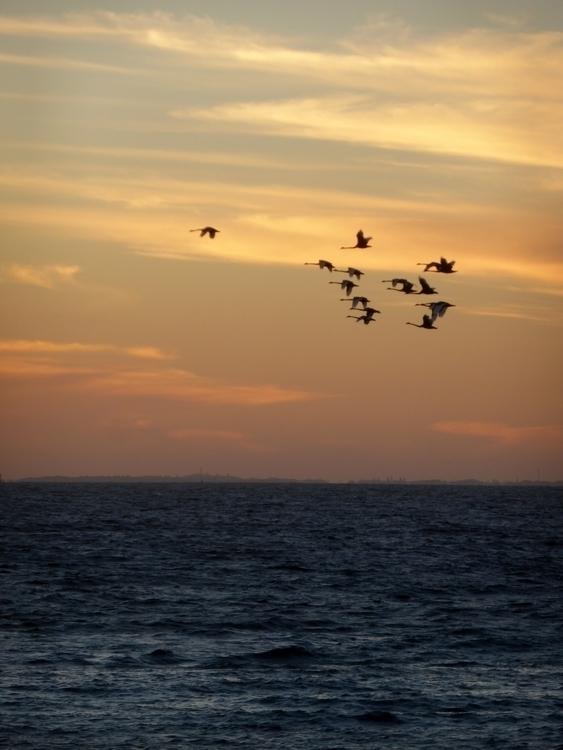 Swans Flight, Cottesloe Beach,  - studiobonnici | ello