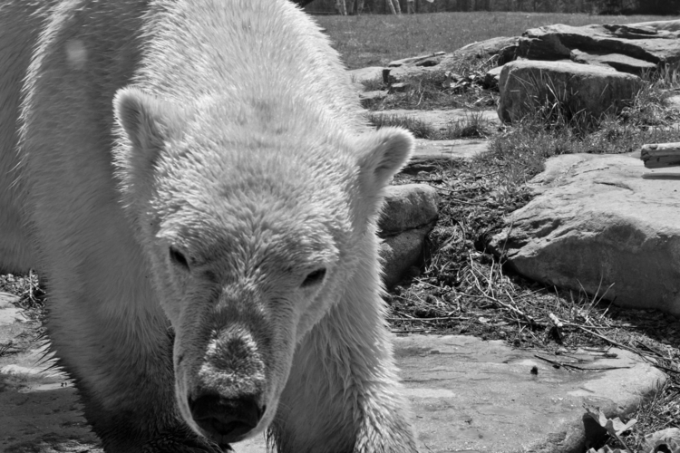 photography, polarbear, animal - stephenkeller | ello