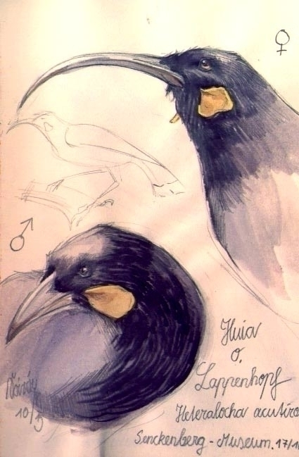 watercolour, drawing, birds, extinct - saralutra-9852 | ello