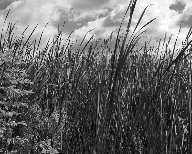 Reeds Wind - photography, nature - beatydigi | ello