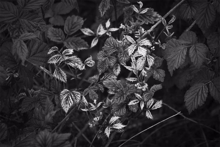 Blackberry Leaves Canon 60D - canonphotography_ry - retroyeti | ello