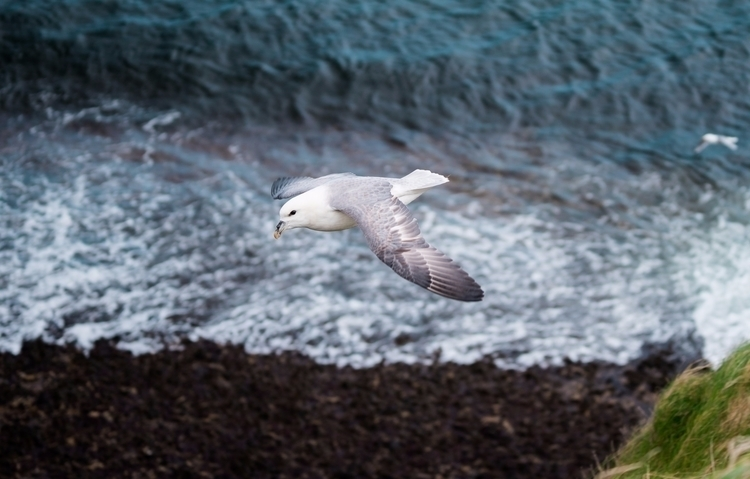 Fulmar glides updrafts cliffs M - nickstanley | ello