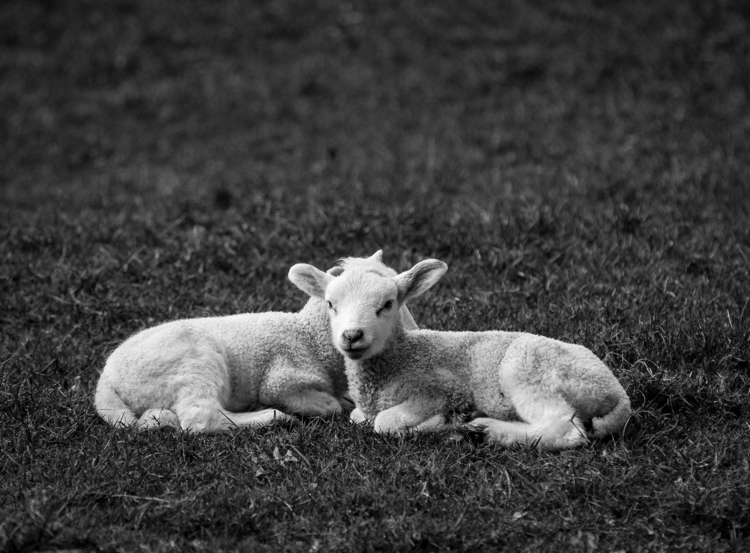 lamb lies Broadway - bradverts | ello
