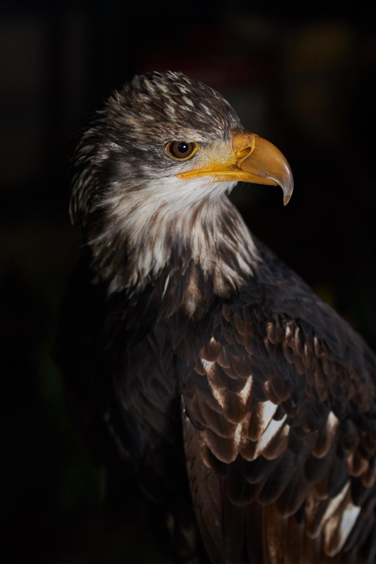 eagle, hss, d750, sb900, inmygarden - hello_wolf | ello