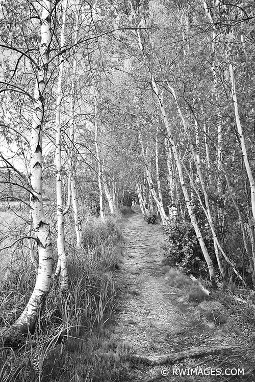 PATH WHITE BIRCH TREES SIEUR DE - rwi | ello