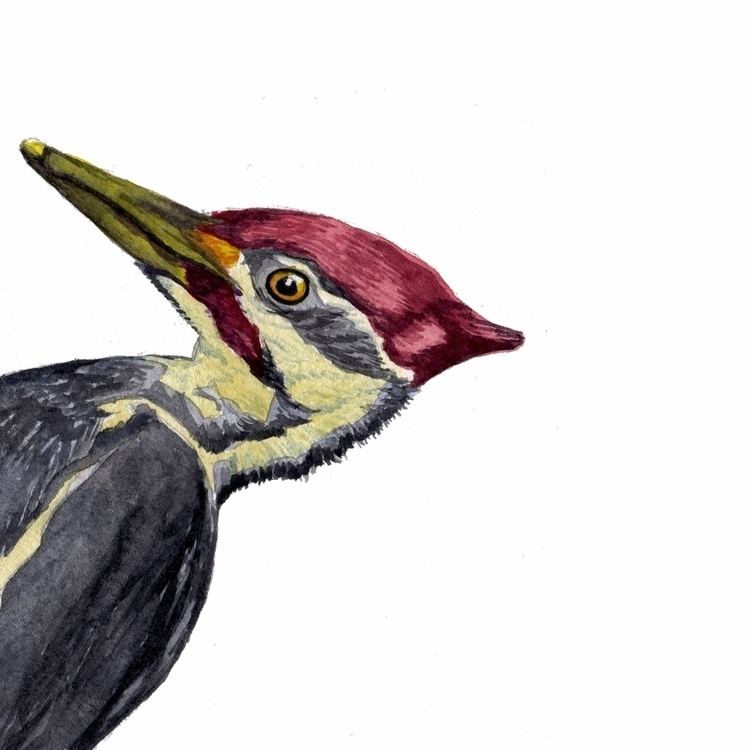 Woodpecker watercolor sketch. Y - mydiagonallife | ello