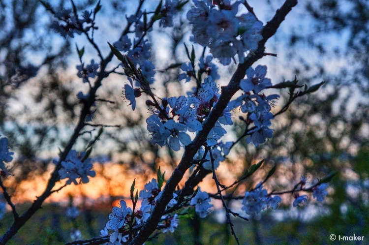 Blossoming Tree Sunset | Flickr - t-maker | ello