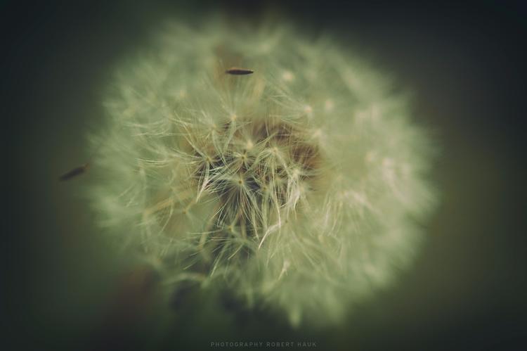 dandelion day - roberthauk | ello