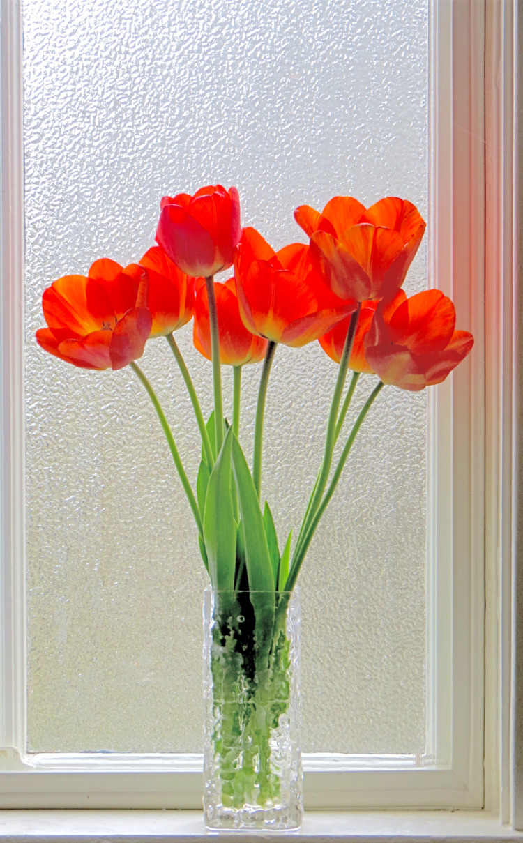 Tulips window, early morning. 2 - dave63   ello