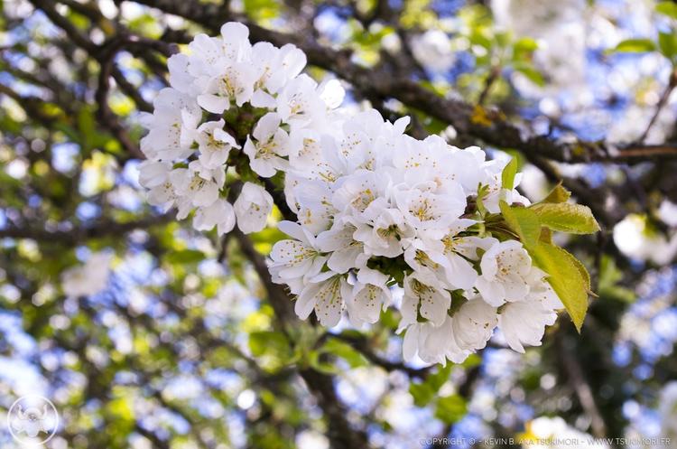 Photos Cherry trees. Pentax K30 - tsukimori   ello