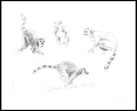 Ring Tailed Lemur draw Pencil - illustration - mwchau | ello