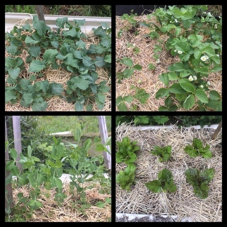 view garden lettuce, strawberry - laurabalducci | ello