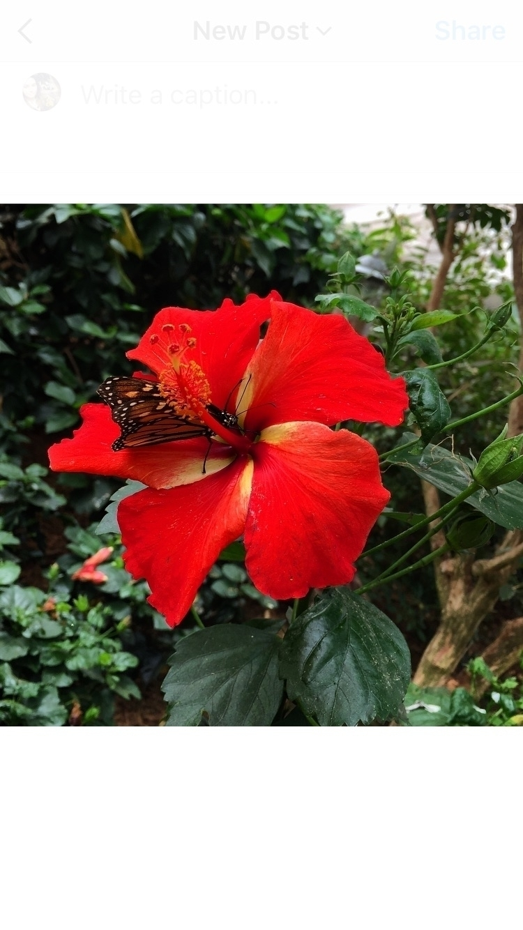 🦋:hibiscus: Todays adventure - butterfly - hippyheartnaturals | ello