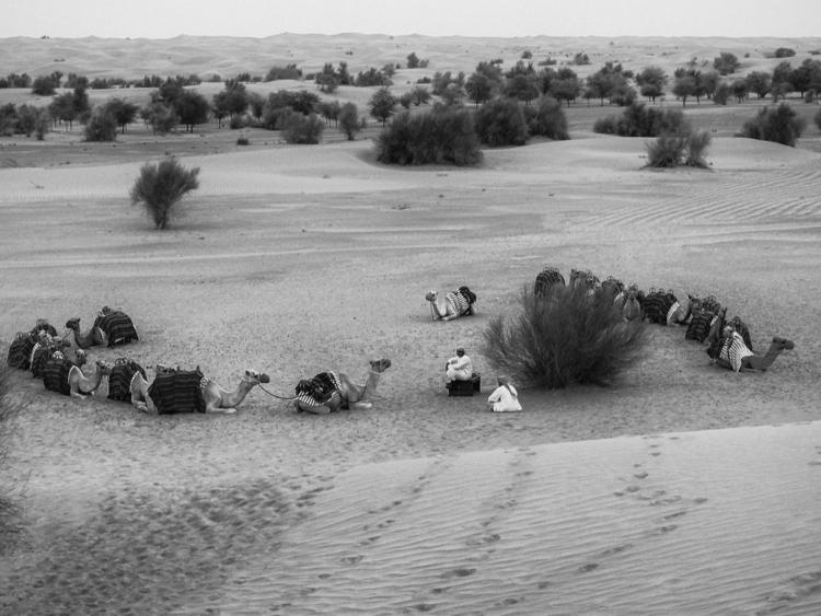 Animals Dubai 3 camel train ear - garylight | ello