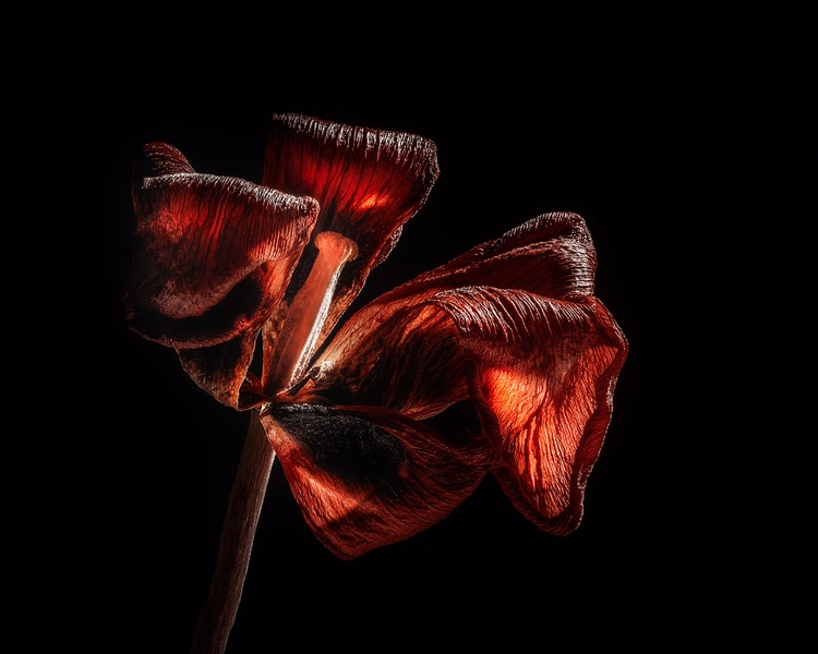 waited bit long shoot red tulip - scottnorrisphotography | ello