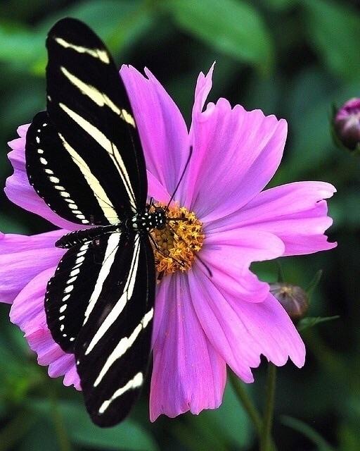Zebra Longwing butterfly Centra - thebutterflybabe | ello