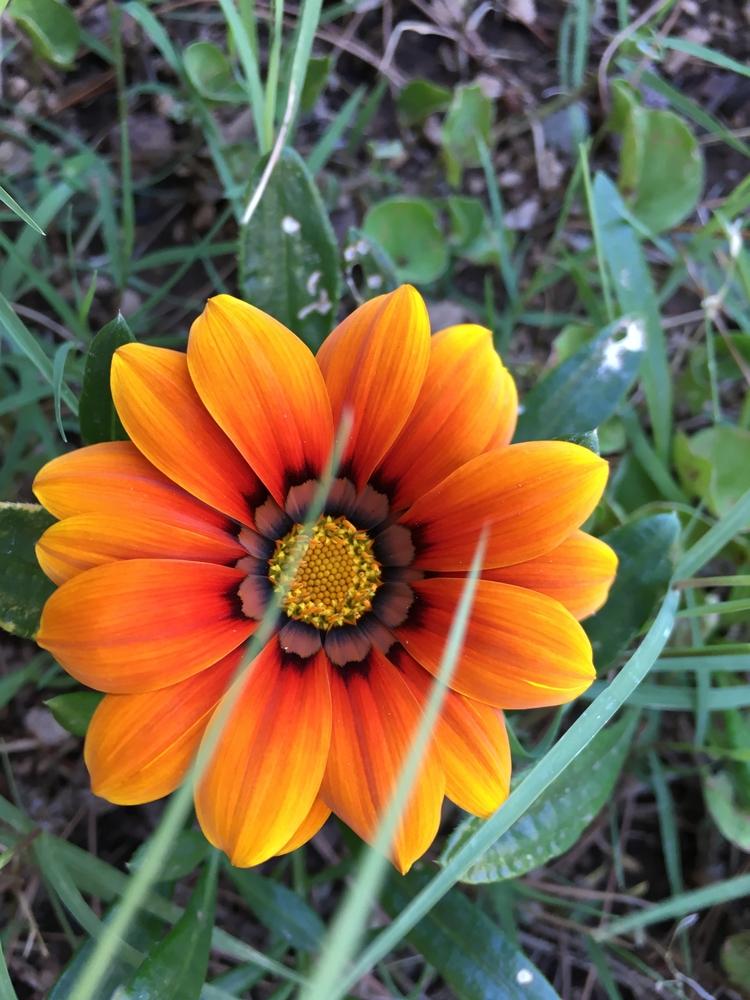 Pretty :tangerine:Gazania - babysnakes31 | ello