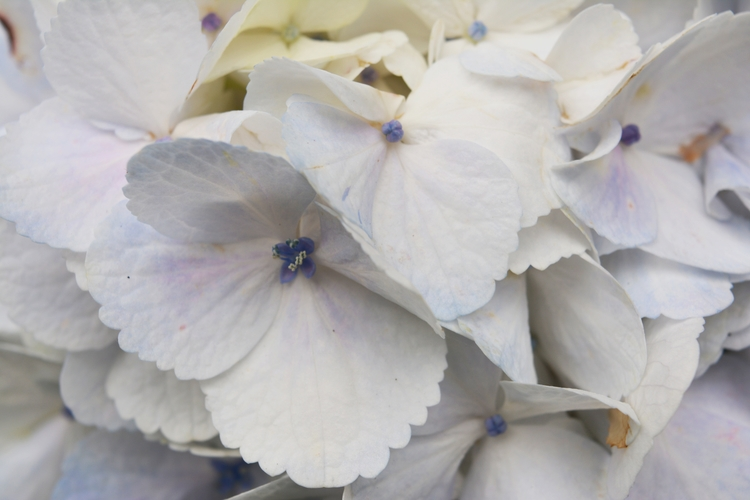 Hydrangea Madeira  - euric | ello