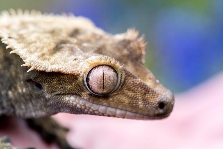 Archimedes, crested gecko. cuti - purplesulfurstudio | ello