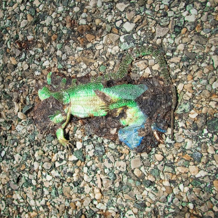 Compressed Green Lizard - gekopaca | ello
